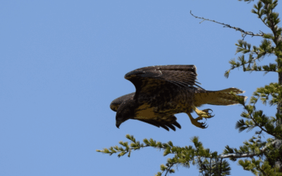 Juvenile Red-Tailed Hawk over Oakland Hills